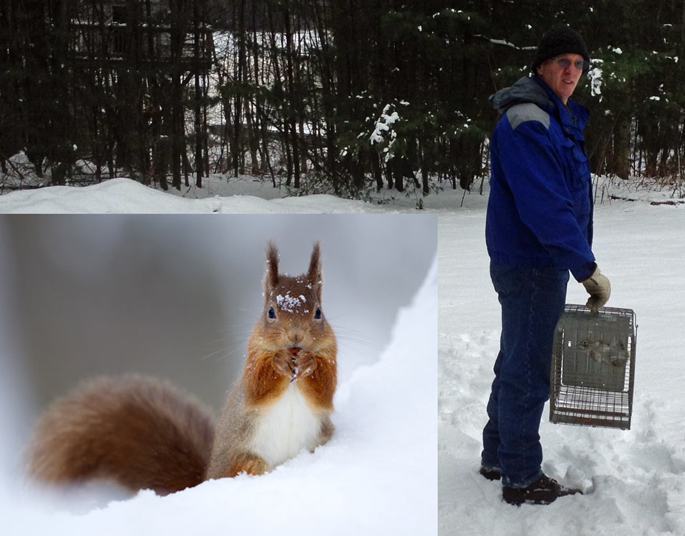 Red Squirrels at Stonehurst Get Evicted