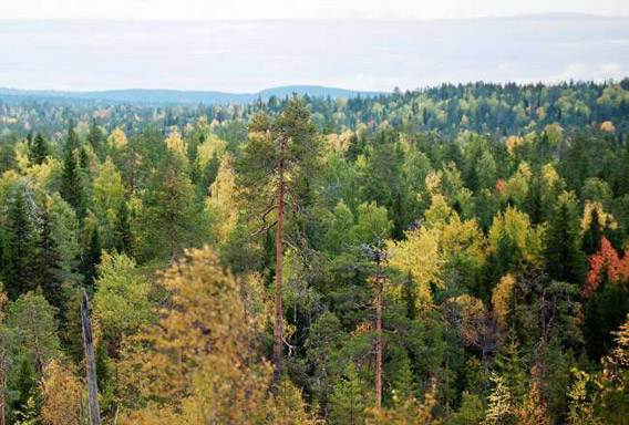Intact old-growth forest on land leased by IKEA/Swedwood in Russian