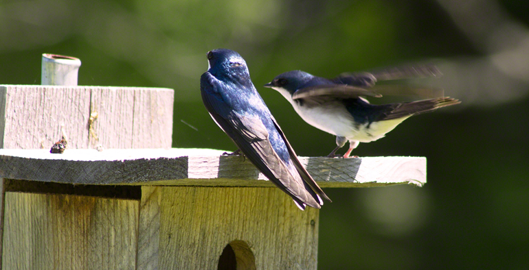 Tree Swallows | Stonehurst Fine Furniture Showroom | Vermont
