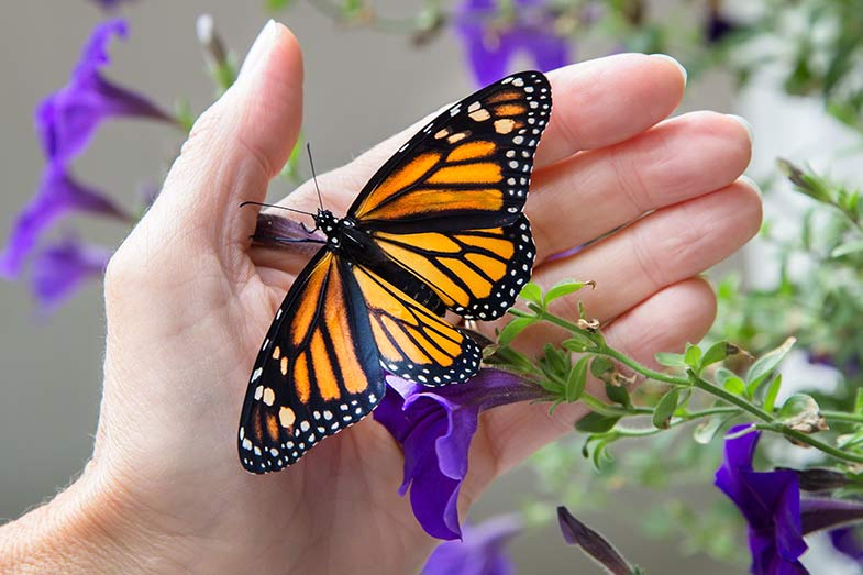 Monarch butterfly getting ready to migrate