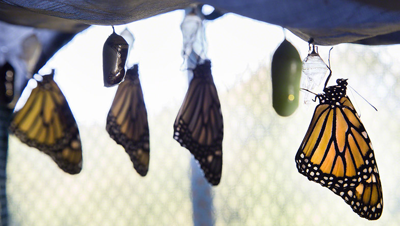 Monarch butterflies shortly after hatching