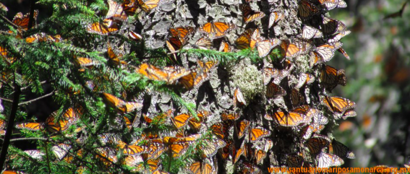 Monarchs Over-Wintering in Mexico | Vermont's Sustainable Furniture Store