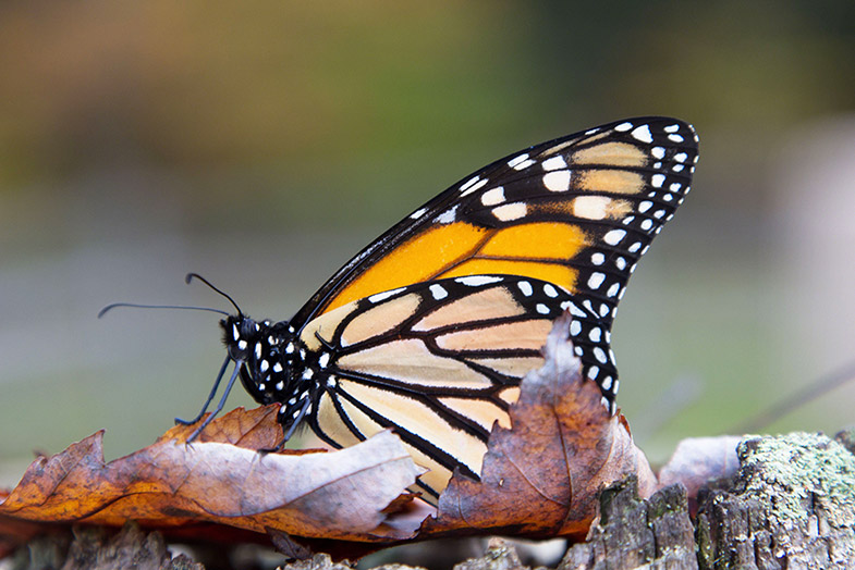save the monarchs