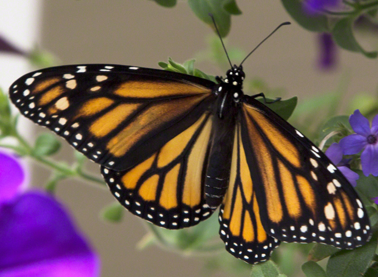 One of the monarchs we raised at Vermont Woods Studios last summer.