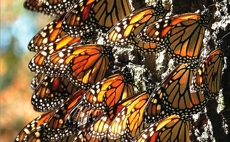 Monarchs over-wintering in Michoacan, Mexico, after completing their epic 3000 mile migration.