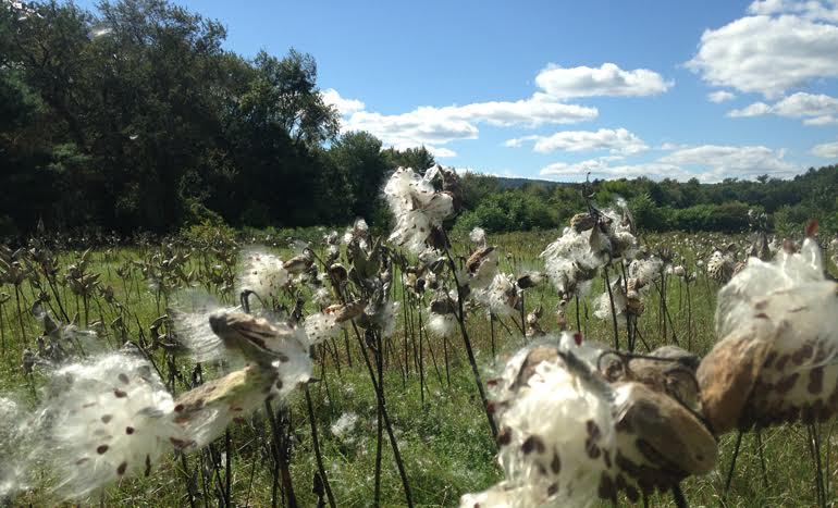 Milkweed pods spreading their seeds in an open field