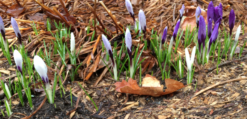 Spring flowers are starting to bloom at Stonehurst, a sustainable furniture store in Vermont