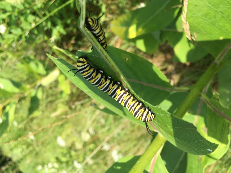 Monarch Caterpillars on Milkweed Plant | Saving the Monarch Butterfly
