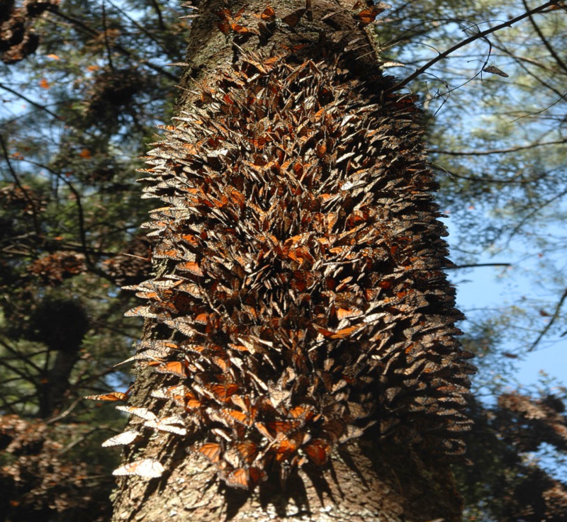 Help the Monarchs | Butterflies roosting on an oyamel tree in Central Mexico