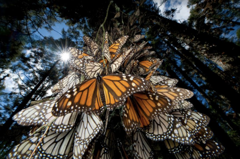 How to Help Save the Monarchs | Vermont Woods Studios