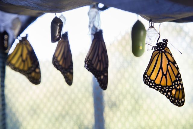 Monarch Hatchlings