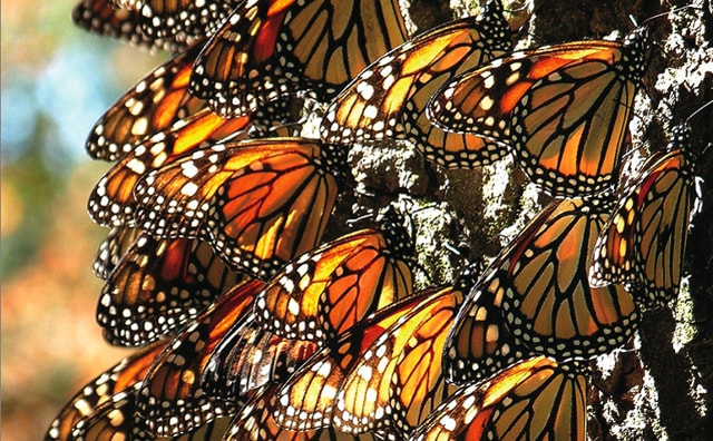 Photo of several monarch butterflies, captured by Dr. Sue Sill