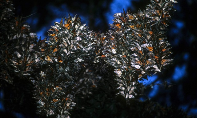 Monarch Butterfy Clusters